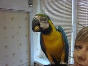 продаю попугая сине-жёлтый ара