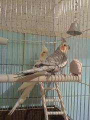продам попугаев Корелло