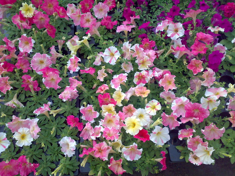 Каталог Семян Цветов открытого грунта Вода