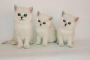Котят британских шиншилл с зелеными глазами!