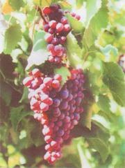 черенки и саженцы винограда реализую по всей России