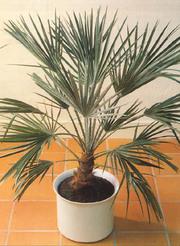 Пальма - символ мира,  победы и власти