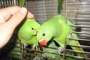 Птенцов Ожереловых попугаев