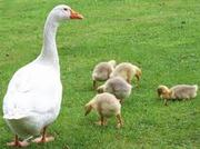 Суточный молодняк гусей в Саратове