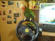 попугай кубинский амазон говорящий ручной