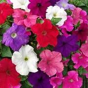 Рассада цветов от производителя