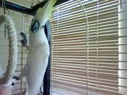 куплю попугая ручного желательно говорящего
