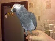 Говорящий ручной попугай жако