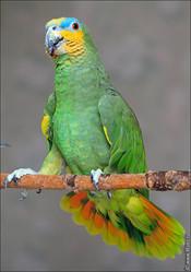 попугая венесуэльского амазона