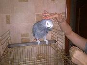 Предлагаю попугаев средних и крупных из питомников