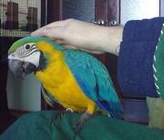 Птенец сине-жёлтый ара ручной как котёнок окольцованный из питомника.