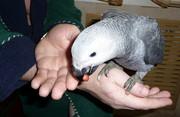 Окольцованые ручные птенцы жако алохвостого 3- 4 месяца из питомника.