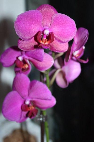 Цветы саратов орхидея
