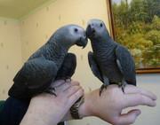 Попугаев Жако краснохвостых есть выбор и другие виды.