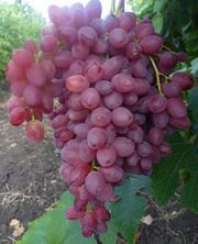 саженцы и черенки винограда почтой или транспортной компанией по всем регионам