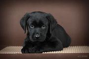 Замечательный щенок лабрадора
