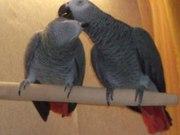 Готовая пара попугаев жако краснохвостого