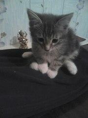 Подарю,  отдам бесплатно красивых,  умных котят в добрые руки. Кот кошк