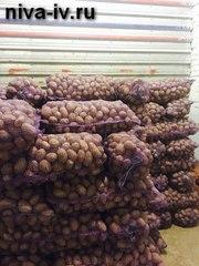 Продажа продовольственного картофеля оптом и в розницу