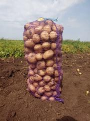 Картофель оптом сорт Коломбо