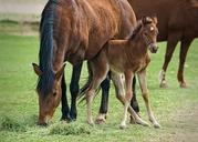 Лошади и жеребята живым весом на откорм. 125 руб/кг.