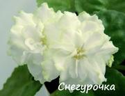 Фиалки (сенполии).Комнатные цветы